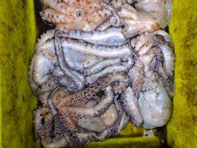 Octopii