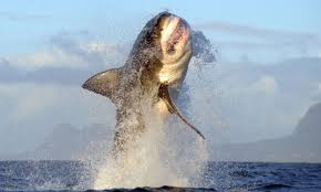 Great White Shark.2